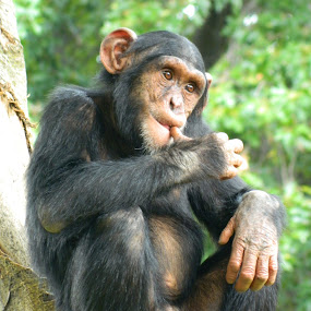 Chimpanzee by Unknown - Animals Other Mammals