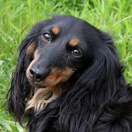 Coy Annie by Chrissie Barrow - Animals - Dogs Portraits ( female, dachshund (miniature long haired), pet, fur, ears, dog, nose, black, tan, portrait, eyes,  )