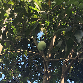 Mango hanging on tree by Som Nath - Nature Up Close Gardens & Produce