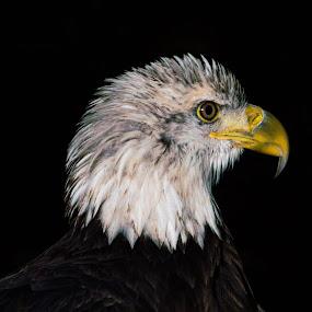 American Icon 1b by Camruin Kilsek - Animals Birds