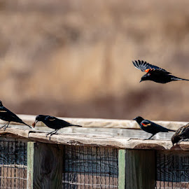 Redwing Black Birds on Walking Bridge by Jim Hendrickson - Novices Only Wildlife ( bird, wing, hackberry, red, oklahoma, flats, black )