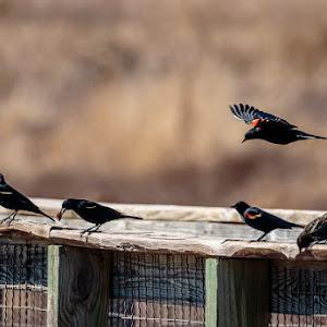 Redwing Blackbirds on bridge-1.jpg