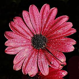 Coeur de zinnia by Gérard CHATENET - Flowers Single Flower