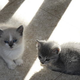 by Snow Losh - Animals - Cats Kittens