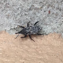 Unknown Spotting ( A Straight-Snout Weevil )