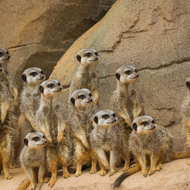 Meerkats by Andrew Moore - Animals Other Mammals
