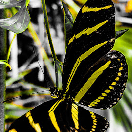 Zebra Longwing Bitterfly by Anne LiConti - Instagram & Mobile Android ( #macrophotography, #zebralongwingbutterfly, #phonephoto, #mobilephoto, mobilephotography, #macro, #butterfly, #phonephotography, #android )