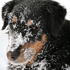 I refuse to look at you. by Kari Schoen - Animals - Dogs Portraits ( playing, canine, black dog, rolling, snow, dog )