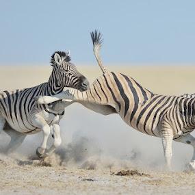 Zebra kick by Neal Cooper - Animals Other Mammals ( kick, etosha, namibia, zebras )