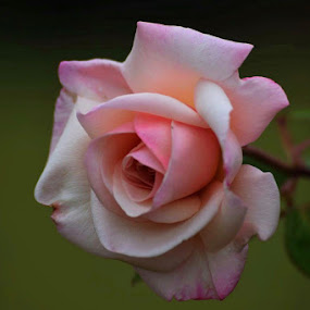Rose beauty by Amanda Daly - Novices Only Flowers & Plants (  )