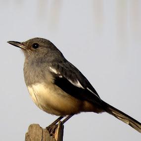 Oriental magpie robin -juvenile by Mainak Adak - Animals Birds ( bird, nature, wildlife, orientalmagpie, animal )