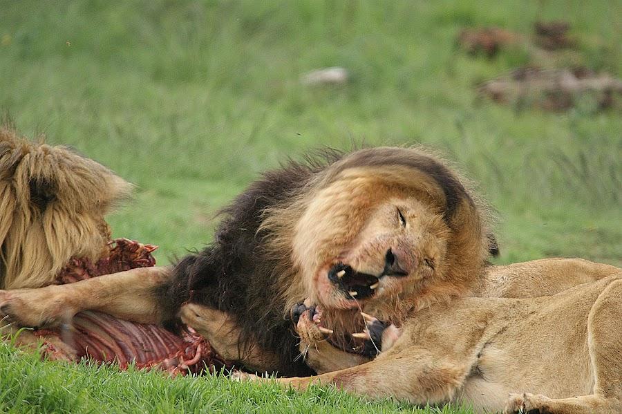 Mine, mine, all mine..... by Charmane Baleiza - Animals Lions, Tigers & Big Cats ( charmane baleiza, lion, big cats, lioness, wildlife )