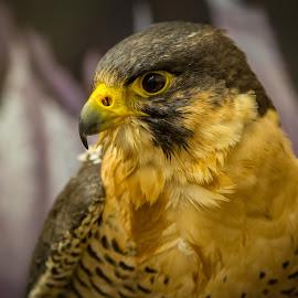 Falcon by Ron Mullins - Animals Birds ( birds of prey, falcon, raptor, birds, peregrine falcon )