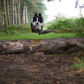 Buddy by Steve Lancaster - Animals - Dogs Running ( collie, border collie, jumping, woodland, dog, happy dog, woods )