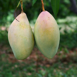 Pair of mangoes by Valasubramaniam N - Nature Up Close Gardens & Produce ( pair, fruits, mangoes, ripe, yummy, pair of mangoes, twins )