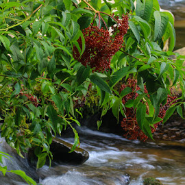 Berry Beautiful by Keith-Lisa Bell Bell - Nature Up Close Other plants ( greenery, bush, river, berries )