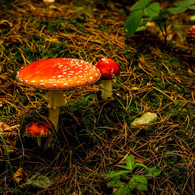 Fly agaric mushrooms  by John Haswell - Nature Up Close Mushrooms & Fungi ( mushroom, nature, autumn, fly agaric,  )