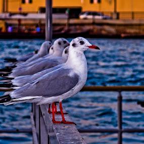Seaguls by Chirag Mer - Animals Birds