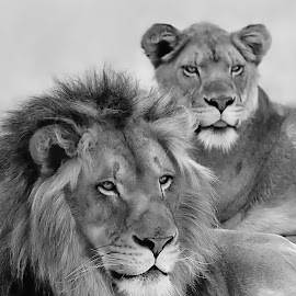 Lion Pair by Shawn Thomas - Black & White Animals