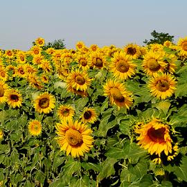 sunflowers field by LADOCKi Elvira - Landscapes Prairies, Meadows & Fields