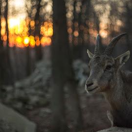 Sunset by Bardocz Csaba - Animals Other