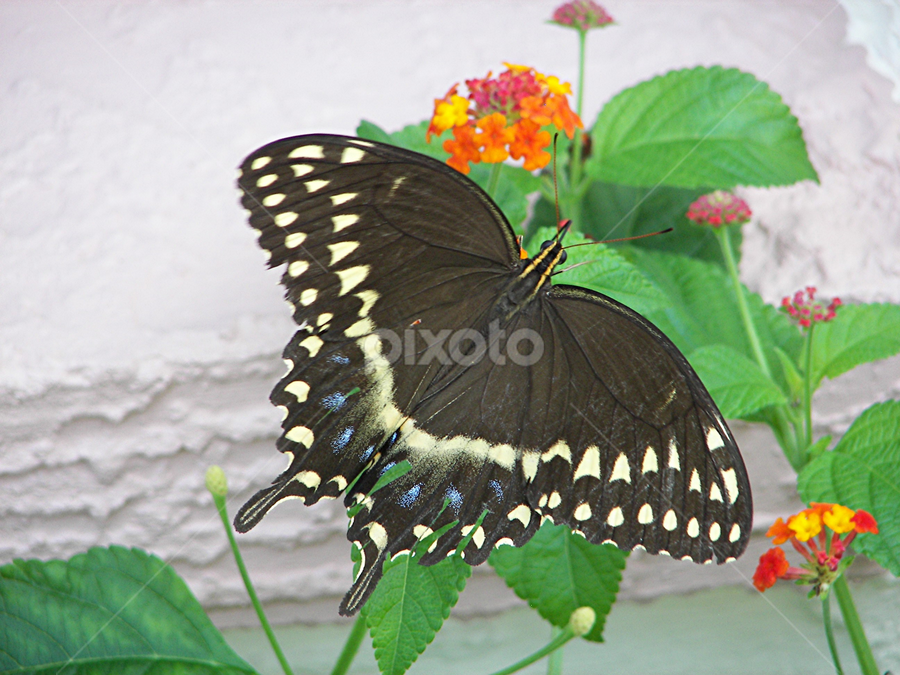 Butterfly in garden by Raymond Earl Eckert - Nature Up Close Gardens & Produce ( plant, butterfly, white, lantana, black,  )