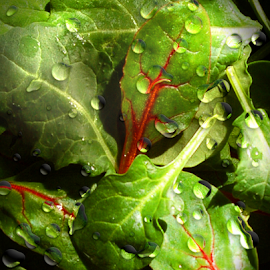 Baby Salad Greens Water Drops Macro by Robin Amaral - Food & Drink Fruits & Vegetables ( salad, water drops, greens, nutritious, macro photography, vegetables, fiber, leaves, leafy greens, baby greens, organic, nutrition, salad greens, lettuce, healthy eating, nature up close, spinach, vegetarian )