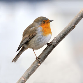 Wake up by Fabio Ponzi - Animals Birds ( robin, red, tree, white, morning )