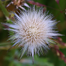 Star Head by Chrissie Barrow - Nature Up Close Other plants ( plant, wild, fluffy, hawkweed, white, star, seeds, bokeh, seedhead )