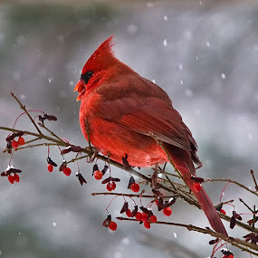 Mr. Cardinal 7076 by D. Jan Anderson - Animals Birds