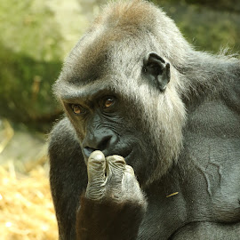 Err........  by Ralph Harvey - Animals Other Mammals ( chessington zoo, gorilla, wildlife, ralph harvey, animal )