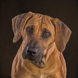 Who? Me? by Linda Johnstone - Animals - Dogs Portraits ( ridgeback, brown eyes, brown fur, studio lights, pet photography, brown dog, dog )