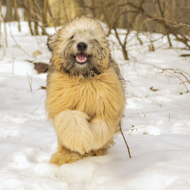 Guiness by Krista Allen - Animals - Dogs Running ( winter, park, dog portrait, portrait )