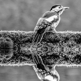 Woodpecker by Garry Chisholm - Black & White Animals ( nature, bird, woodpecker, wildlife, garry chisholm )