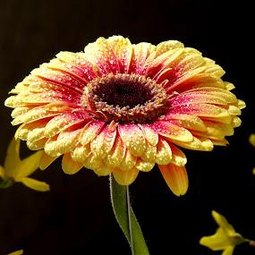 by László Nagy - Flowers Single Flower