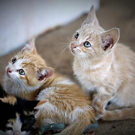 Attention  by Pieter J de Villiers - Animals - Cats Kittens