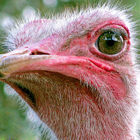 by Natalie Ax - Animals Birds ( bird, ostrich, funny, big, close up, portrait,  )