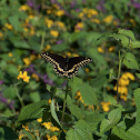 Black swallowtail (black form)