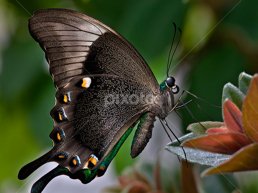Schmetterling by Carl Sieswono Purwanto - Animals Insects & Spiders