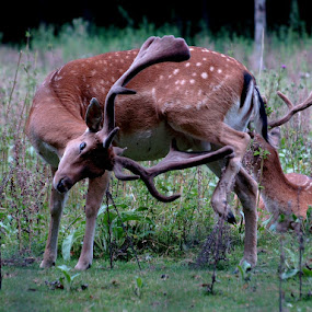 Fallow-deer by Jakub Juszyński - Animals Other Mammals ( scratch, grass, relax, green, fallow, forest, deer )