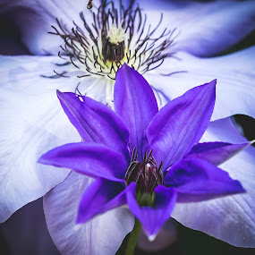Clematis at Springtime by Ed Stines - Flowers Flower Gardens ( white tipped, flowers, clematis, young, nature, plant, purple, garden flowers, vine, flower,  )