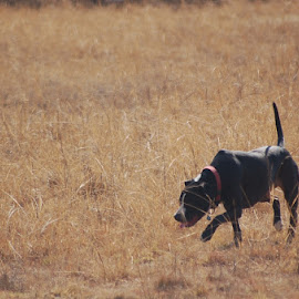 Picking up a scent by Andre Louw - Animals - Dogs Running