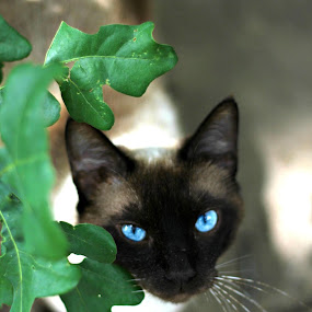 Sebastian by Elizabeth Robison - Animals - Cats Portraits ( blue eyes, handsome, siamese )