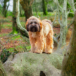 Tibetan Terrier in the Woods by Jenny Trigg - Animals - Dogs Portraits ( dog portrait, dog photography, tibetan terrier, dog )