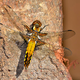 Broad-bodied Chaser, teneral male by Ricardo Costa - Animals Insects & Spiders ( portugal, odonata, dragonflies )