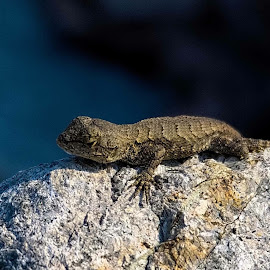 Rock Sunning  by Debbie Milner - Animals Amphibians