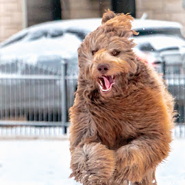 by Kathy Suttles - Animals - Dogs Running ( furry, happy, relaxed tongue, puppy, snow day, running, snow play, furr baby )