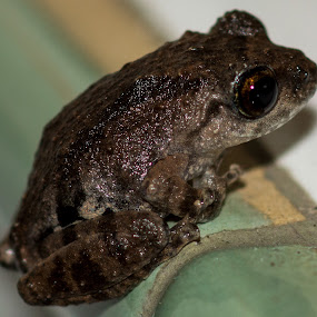 Toad by Andy Goo - Novices Only Macro ( slime, frog, little, toad, shine, brown, eye )
