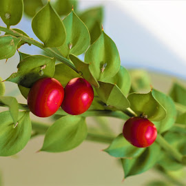 Christmas berries by Cristina Nunes - Nature Up Close Other Natural Objects (  )