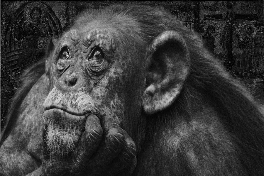 So, you fucked up big time by Brut Carniollus - Black & White Animals ( non-conceptual, digital collage, zoo, black & white, apes, portrait,  )